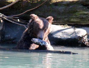 Grizzly bears at Toba Inlet in Klahoose Territory. Photo © Gerry Henkel