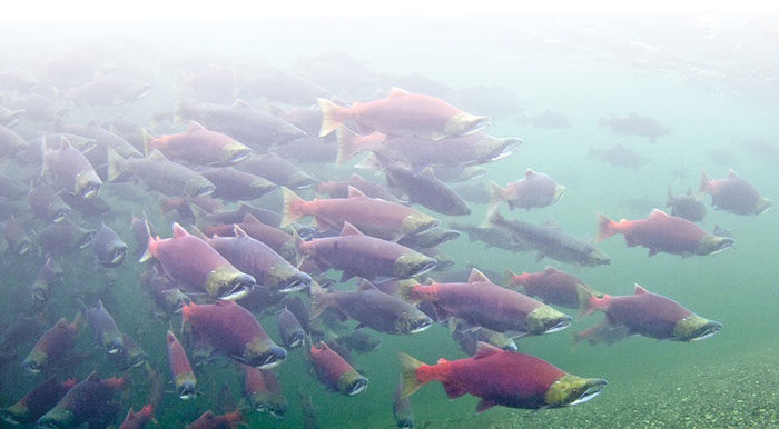Snuneymuxw River Story