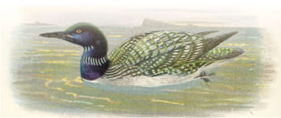 watercolour of a loon