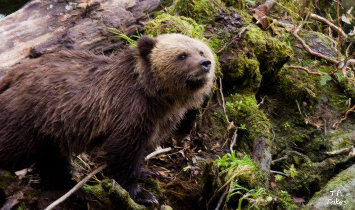 Bear tours connect Homalco members to territory