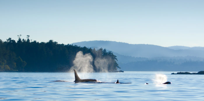 Stz'uminus elders describe orcas as 'family' at NEB hearings